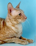 The Cornish Rex Cat Breed