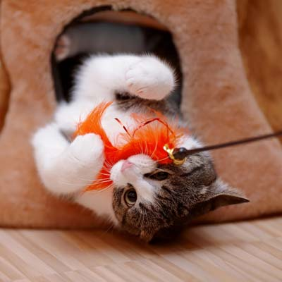 Brown and white kitten playing with orange feather cat toy.