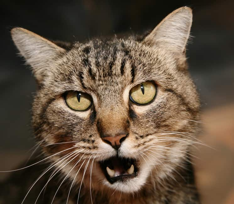 Tabby cat, mouth open in a meow