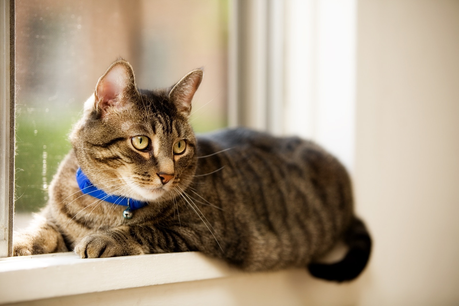 Pet tabby cat laying in a residential window. Shallow depth of field with focus on eyes.