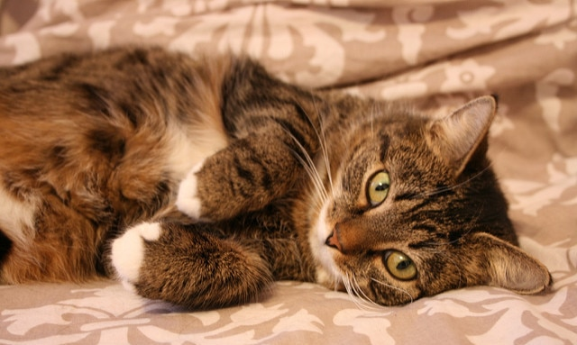 Striped tabby cat with green eyes lying on side on bed.