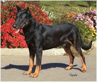The Beauceron Dog Breed