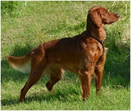 Irish Setter Dog Breed - Facts and Personality Traits