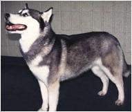 Siberian Husky Dog Breed - Facts and Traits | Hill's Pet