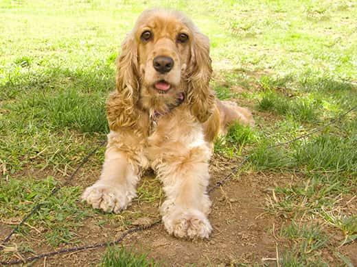 American Cocker spaniel puppy with big sad eyes lying at the garden