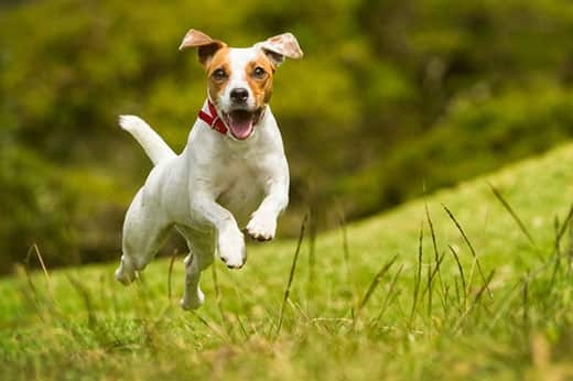Jack Russell Parson dog runs in a field of grass.