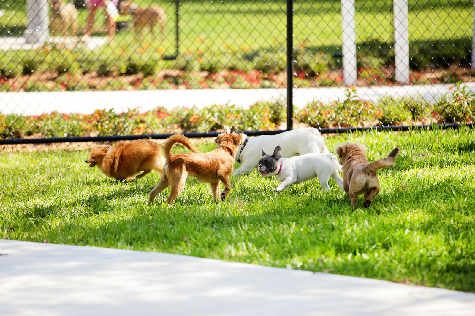 Group of small dogs playing in the dog park