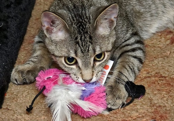 striped tabby cat playing with pink plush bird toy
