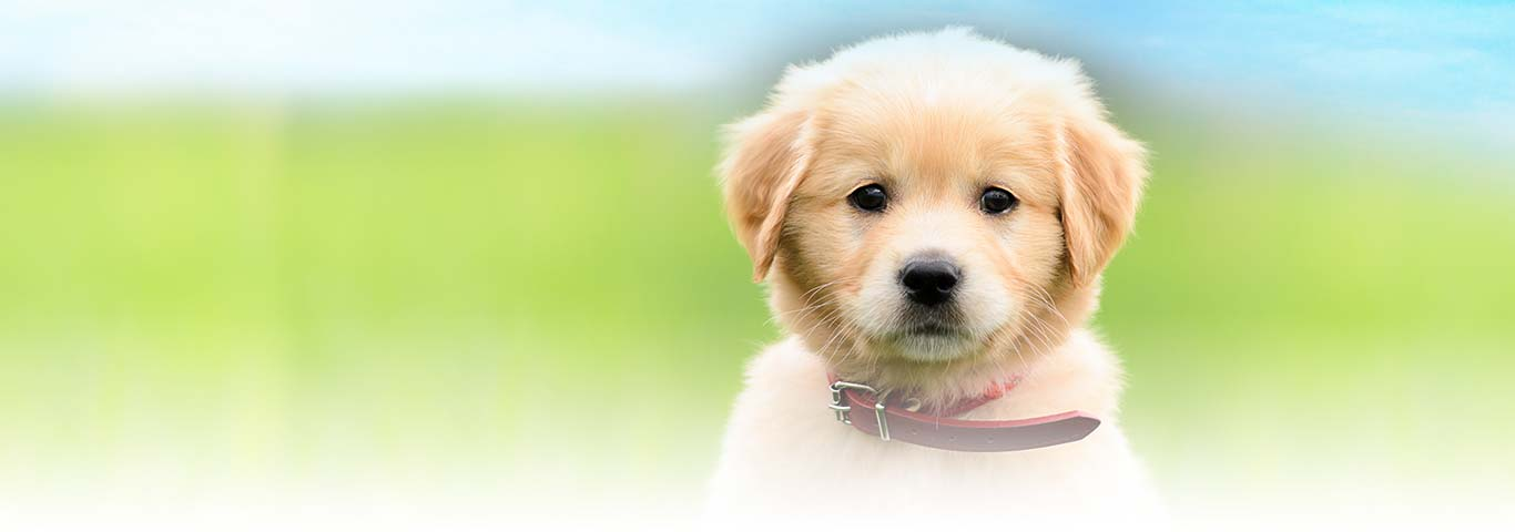 Ideal Balance Dog Food >> Looking After a Puppy   Hill's Pet