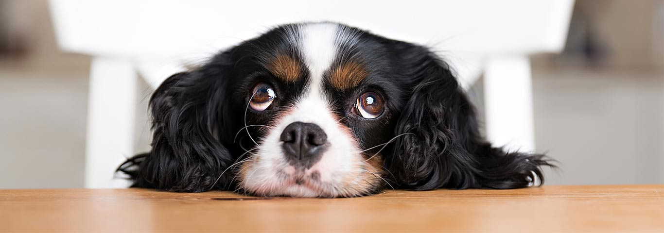 Ideal Balance Dog Food >> How Do I Stop My Dog from Barking? | Hill's Pet