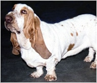 The Basset Dog Breed