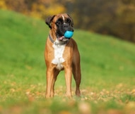 boxer dog breed facts and personality traits hill s pet